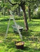 Erntezeit: Apfelernte im Garten