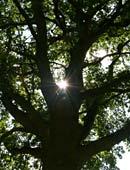 Nussbaum für den Garten